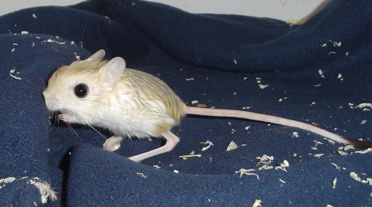 Pygmy Jerboa Is One An...