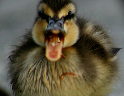 ducks pwn little baby by stealing his food amp even comes