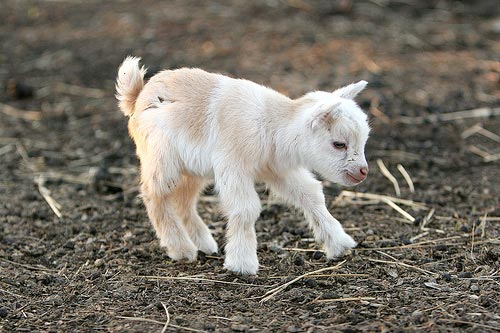 http://loyalkng.com/wp-content/uploads/2009/10/cute-baby-goat.jpg